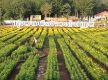 """เปิดให้เข้าชมแล้ว """"ทุ่งดาวเรือง รวมใจภักดิ์"""" บานสะพรั่ง ๔๕๐,๐๐๐ ต้น พร้อมเลข ๙ ใหญ่ที่สุดในประเทศไทย"""