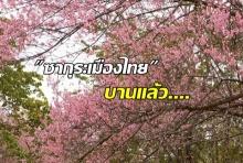 บานแล้ว! ซากุระเมืองไทย ชมพูสะพรั่งที่ต้นน้ำหงาว-งาว