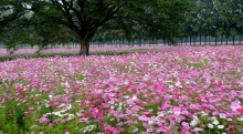 เคยไปยัง!! งานชมทุ่งดอกคอสมอส สีสวยสด ที่สระบุรี !
