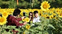 ของดีพิษณุโลก ไร่ดอกทางตะวันที่บานสะพรั่งรับดวงอาทิตย์
