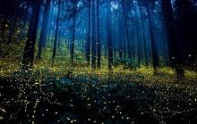 ภาพแสงหิ่งห้อยสวยๆ ในป่าที่ประเทศญี่ปุ่น ที่ต้องลองไปสักครั้งในชีวิต